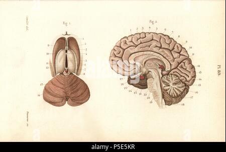 Querschnitte durch das Gehirn Stockfoto, Bild: 38255284 - Alamy