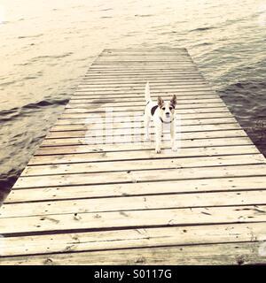 Jack Russel Hund auf einer Mole - Stockfoto