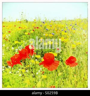 Rote Mohnblumen in Sommerwiese - Stockfoto