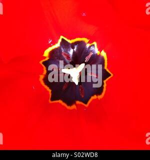 Schwarze ungleichmäßige Form auf starken roten Hintergrund Tulpe Blume Nahaufnahme - Stockfoto