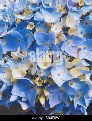 Blaue Hortensie - Stockfoto