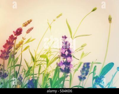 Lavendel blühende Pflanze - Stockfoto