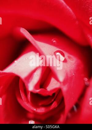 Nahaufnahme von Wassertropfen auf eine rose - Stockfoto