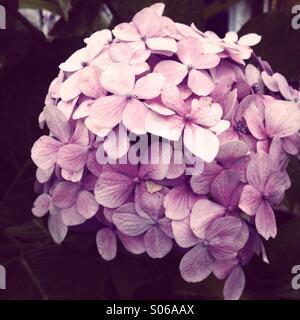 Hortensie Blüte - Stockfoto