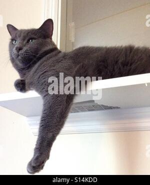 Porträt von Eyed Russisch Blau Katze - Stockfoto