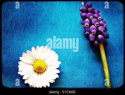 Daisy und Trauben Hyazinthe auf leuchtend blauem Hintergrund - Stockfoto