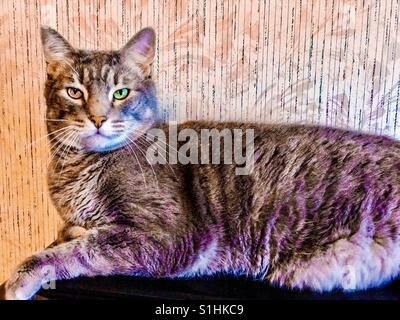 Schöne Silber-grau mit Mint-grün Augen in- oder American Kurzhaar Tabby Katze - Stockfoto