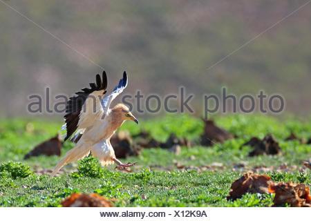Schmutzgeier (Neophron Percnopterus), Landung auf den Boden, Seite Ansicht, Kanarischen Inseln, Fuerteventura - Stockfoto