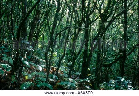 Bäume im Wald, Nationalpark Garajonay, La Gomera, Kanarische Inseln, Spanien - Stockfoto