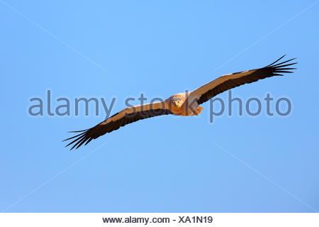 Schmutzgeier (Neophron Percnopterus), im Flug, Kanaren, Fuerteventura - Stockfoto