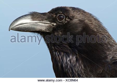 Kanarischen Inseln Raven (Corvus Corax Tingitanus), portrait - Stockfoto