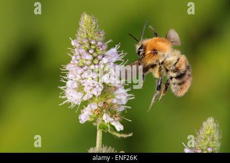 Carda com n bombus pascuorum abejas en floraci n atumn for Ahuyentar abejas jardin