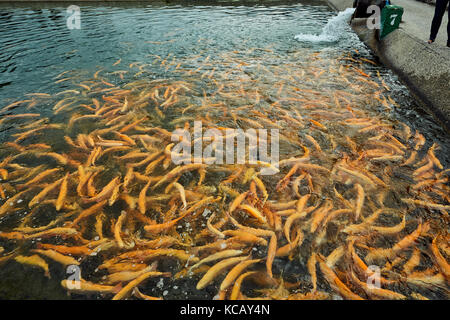 Cerca de mbar para adultos trucha peces en un estanque artificial