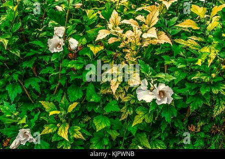 Arbustos Para Vallas Amazing Cerco De Pittosporum Tobira With - Arbustos-para-vallas