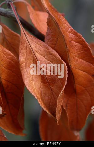 Couleurs d'automne illustré par red brown laisse pendu à une branche d'un prunier dans le jardin portrait format Banque D'Images